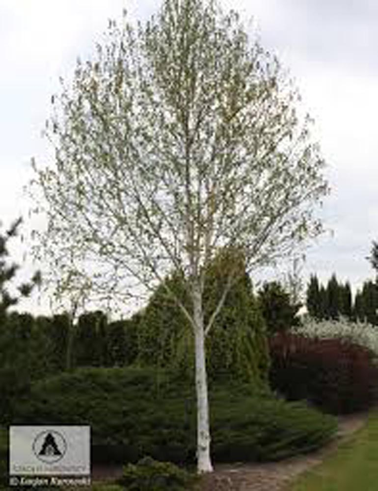 Take a bough tree care 39 s ideas on 5 trees for a small for Ideal trees for small gardens