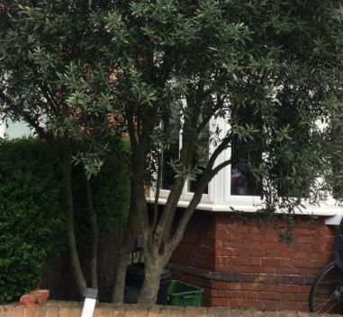 A neighbour's overhanging tree needing cutting