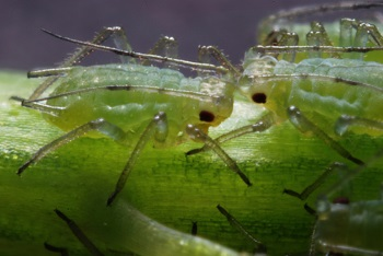 A close up of tree aphids