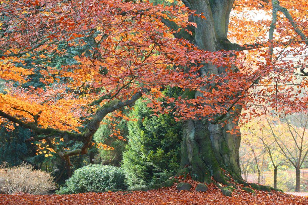 Beech trees fagus sylvatica tree surgeons wimbledon