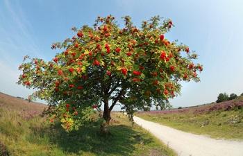A rowan tree