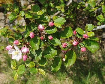 Blossom of the crab apple tree (Malus sylvestris)