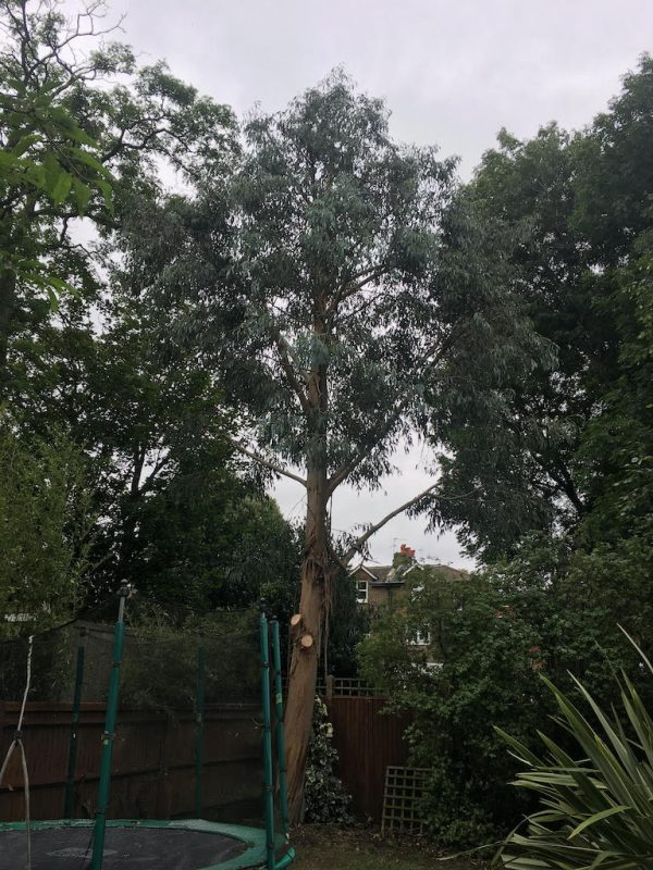 Eucalyptus after tree surgery in Balham