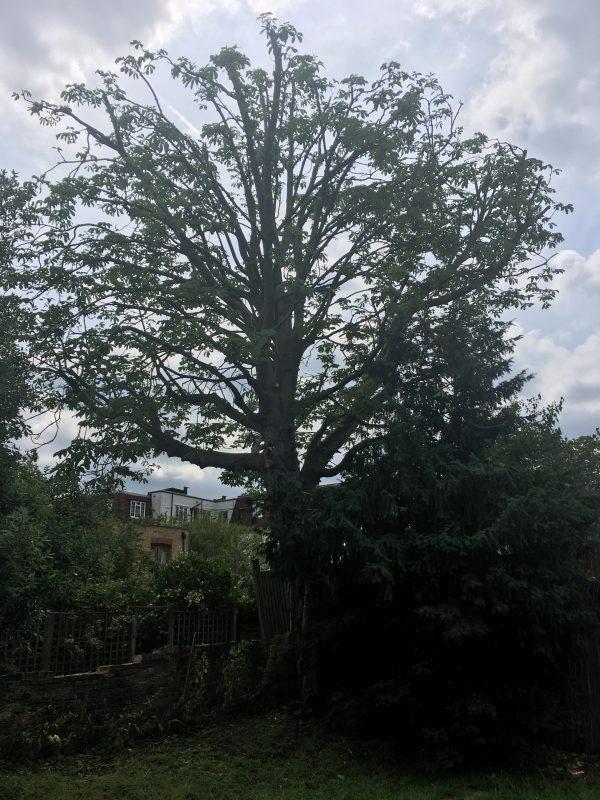 Wimbledon Horse Chestnut tree before tree surgery