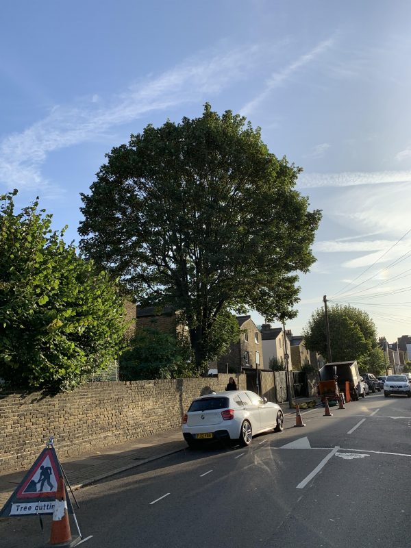 a sycamore tree before crown reduction in putney