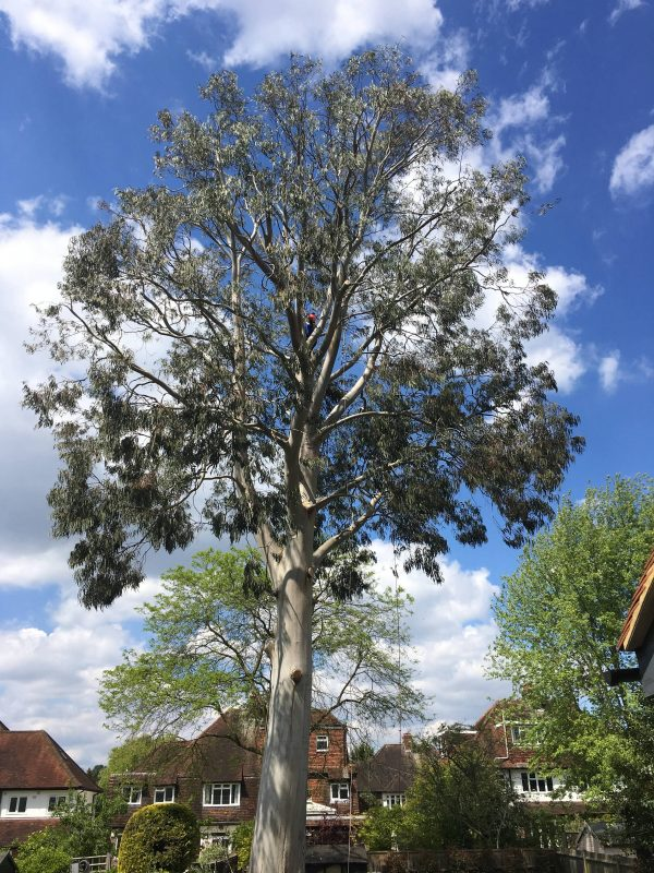 Eucalyptus tree in Richmond after crown reduction by our tree surgeons