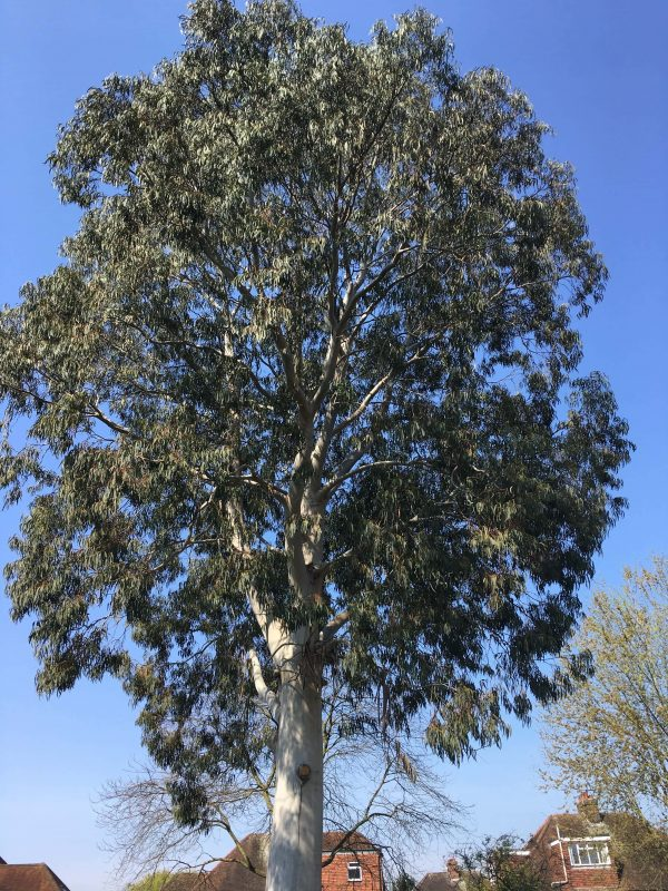 Eucalyptus tree in Richmond before crown reduction by our tree surgeons