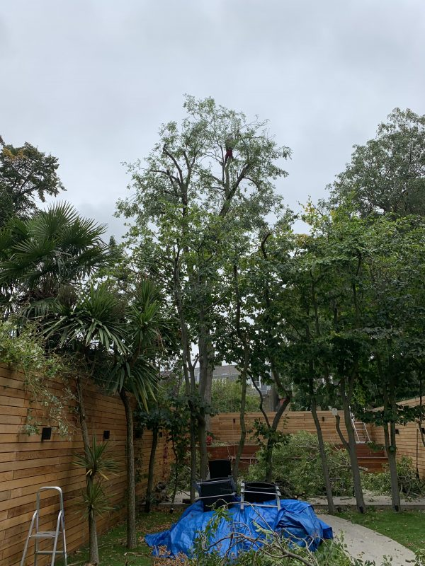 An ash tree in Wimbledon after being pollarded by Take A Bough tree surgeons
