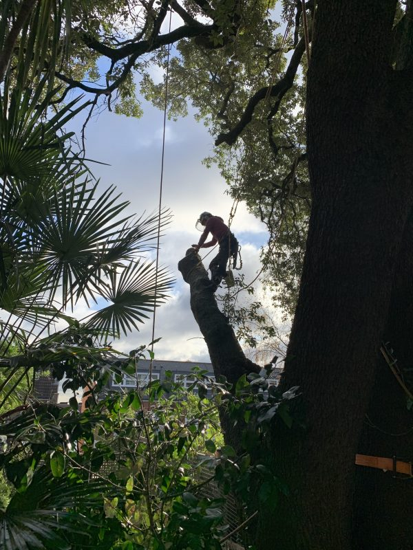 Our London customer's holm oak tree during crown lift tree surgery