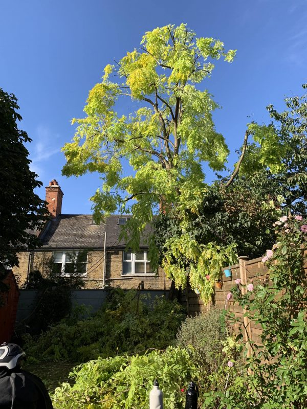 Our Clapham customer's Robinia tree after tree surgery