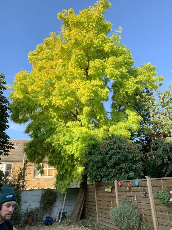Our Clapham customer's Robinia tree before tree surgery