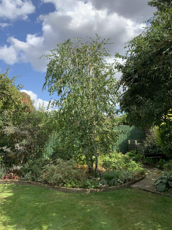 Our Earlsfield customer's silver birch after tree pruning by our tree surgeons