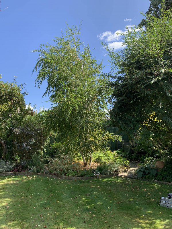 A silver birch owned by our customer in Earlsfield before pruning by our tree surgeons