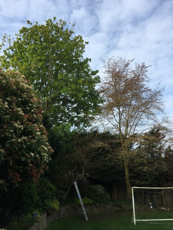 A sycamore tree before pruning by our professional tree surgeons in Wimbledon
